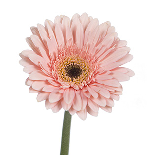 Floral Design Institute | Gerbera | Daisy-shaped flowers 2 ...