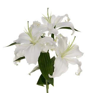 Common Names: There are three primary groups of Lilium; Oriental Lilies, Asiatic Lilies, and Easter Lilies