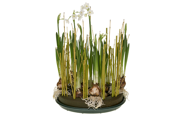 Floral design institute winter paperwhites winter paperwhites next add a layer of river rocks to cover the inside mechanics this will add a decorative touch and also help secure the bulbs in place mightylinksfo