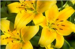 image.004.09.01.00 Asiatic Lilies yellow 2.jpg (8651 bytes)